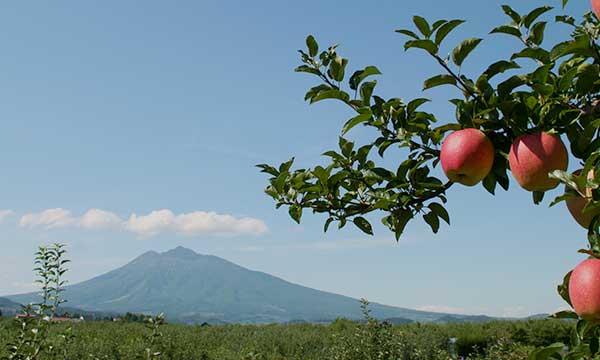 りんごがたわわに実るりんご畑 青森